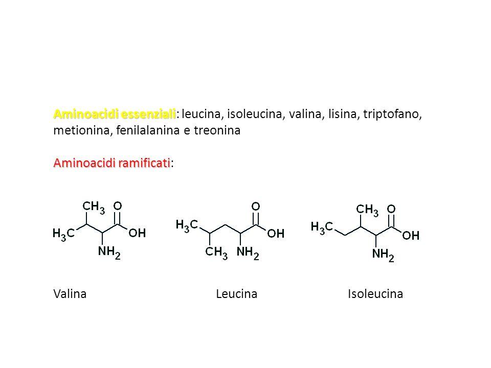 Aminoacidi essenziali Aminoacidi essenziali: leucina, isoleucina, valina, lisina, triptofano, metionina, fenilalanina e treonina Aminoacidi ramificati