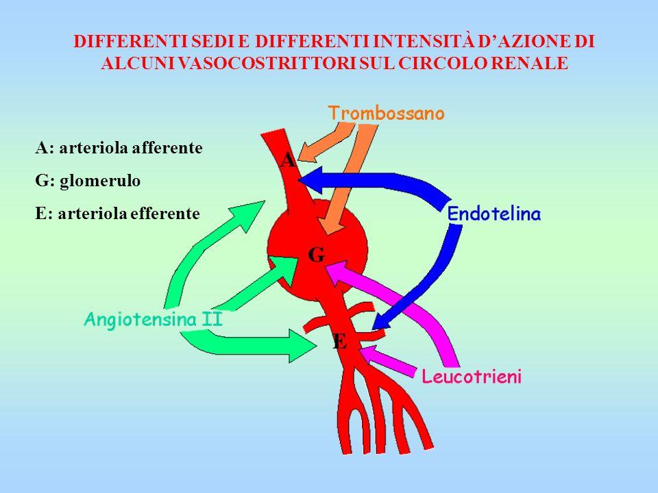 DIFFERENTI SEDI E DIFFERENTI INTENSITÀ DAZIONE DI ALCUNI VASOCOSTRITTORI SUL CIRCOLO RENALE A: arteriola afferente G: glomerulo E: arteriola efferente