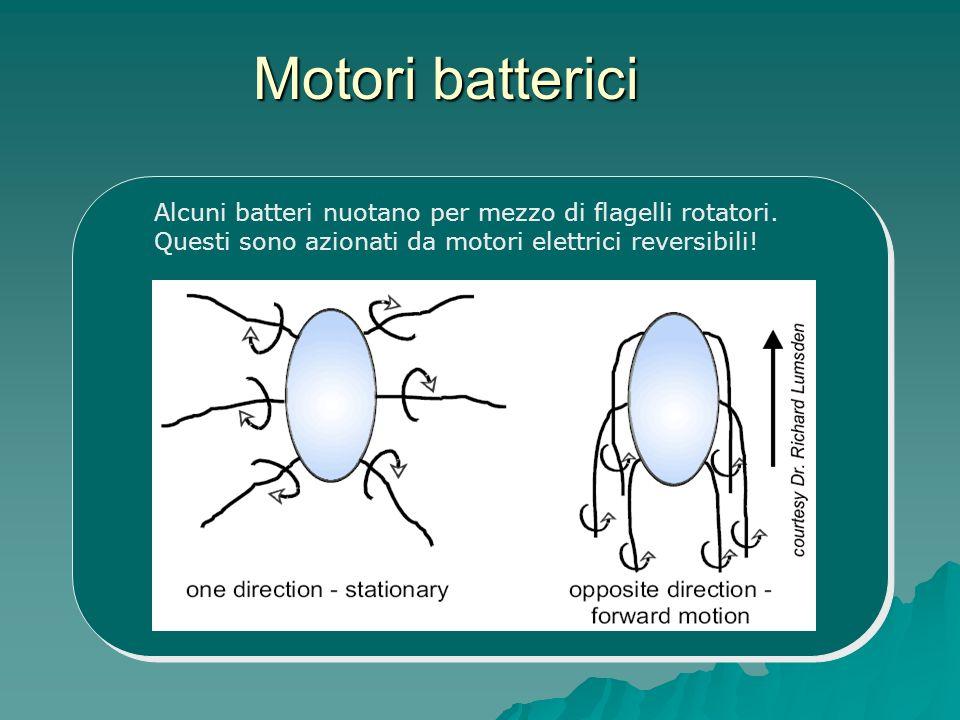 Motori batterici Alcuni batteri nuotano per mezzo di flagelli rotatori. Questi sono azionati da motori elettrici reversibili!