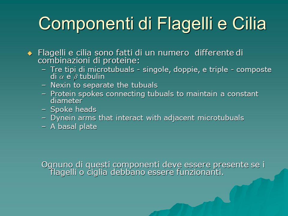 Componenti di Flagelli e Cilia Flagelli e cilia sono fatti di un numero differente di combinazioni di proteine: Flagelli e cilia sono fatti di un nume