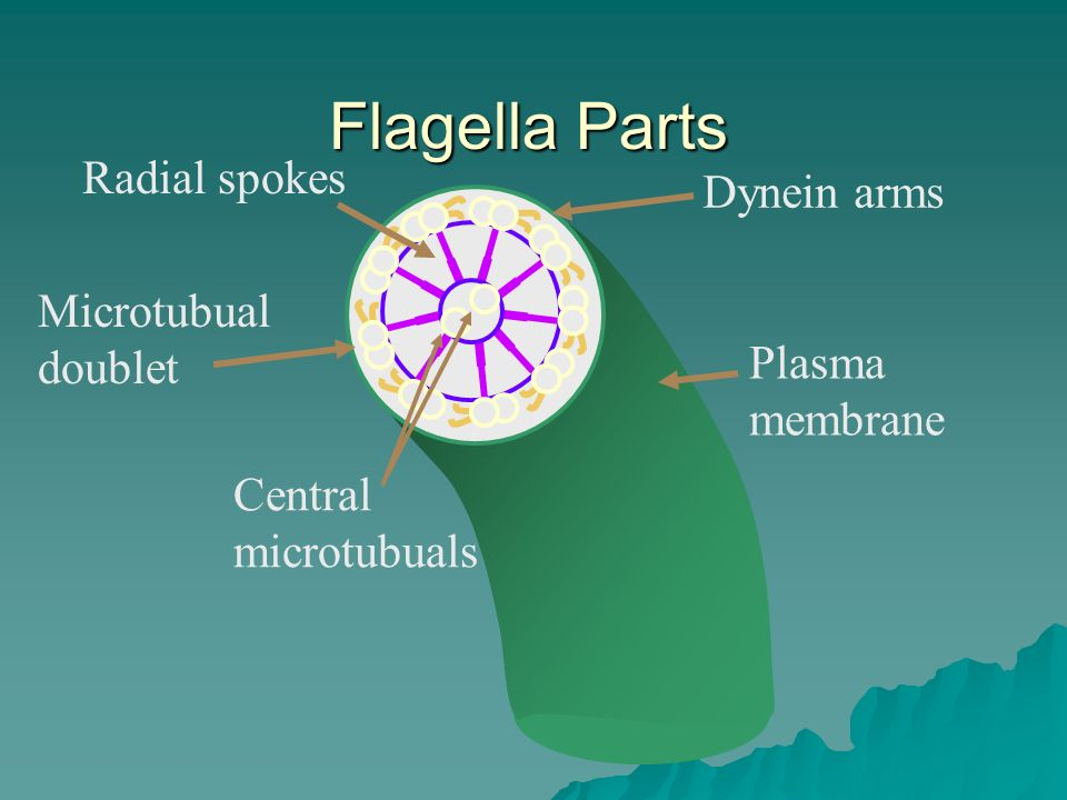 Flagella Parts Central microtubuals Microtubual doublet Plasma membrane Dynein arms Radial spokes