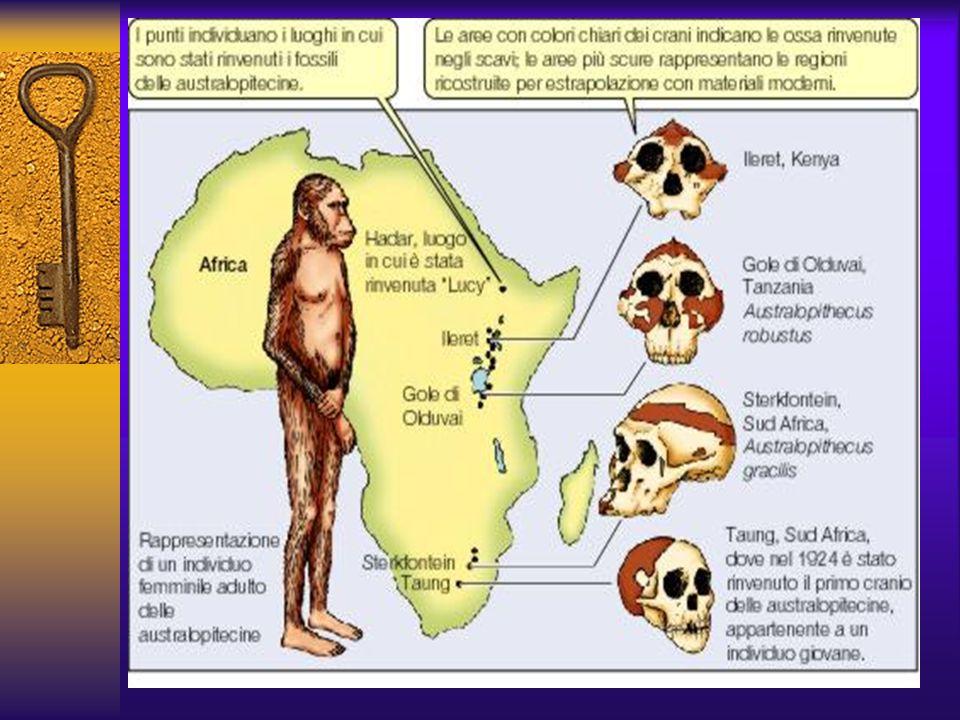I PRIMI OMINIDI Australopitecine : Sono vissute fra i 5 e i 1.2 milioni di anni fa, resti sono stati trovati in molti siti africani, particolarmente l