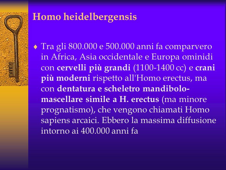 H. erectus mostra numerosi caratteri derivati : riduzione del prognatismo un cranio pi ù alto denti piccoli naso sporgente (come nell'uomo moderno) ce