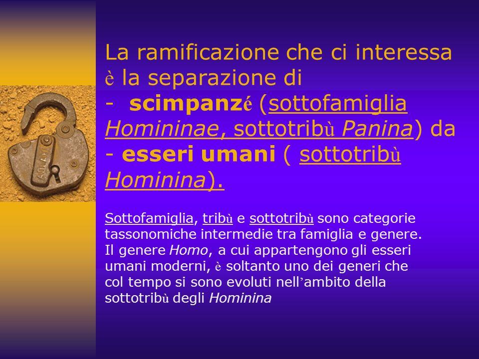 La ramificazione che ci interessa è la separazione di - scimpanz é (sottofamiglia Homininae, sottotrib ù Panina) da - esseri umani ( sottotrib ù Hominina).