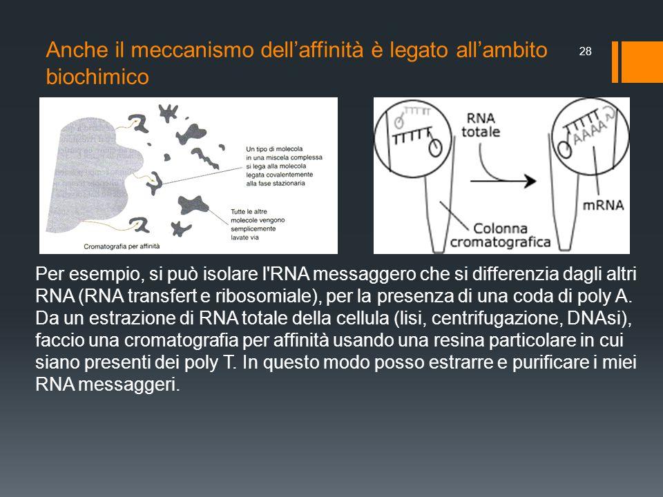 Anche il meccanismo dellaffinità è legato allambito biochimico 28 Per esempio, si può isolare l'RNA messaggero che si differenzia dagli altri RNA (RNA