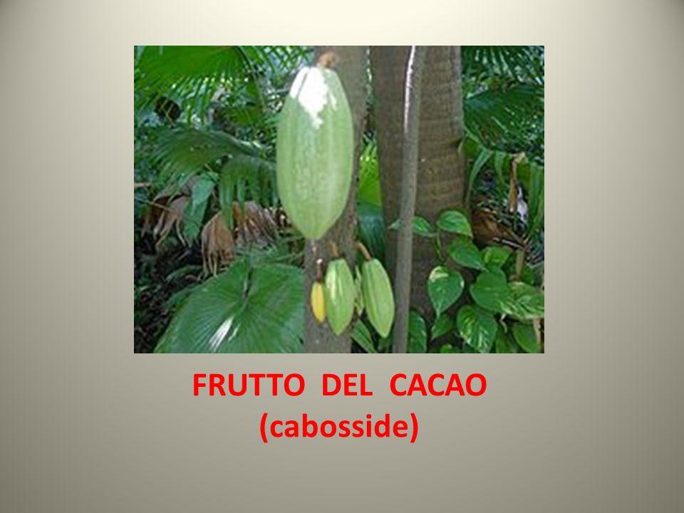 FRUTTO DEL CACAO (cabosside)