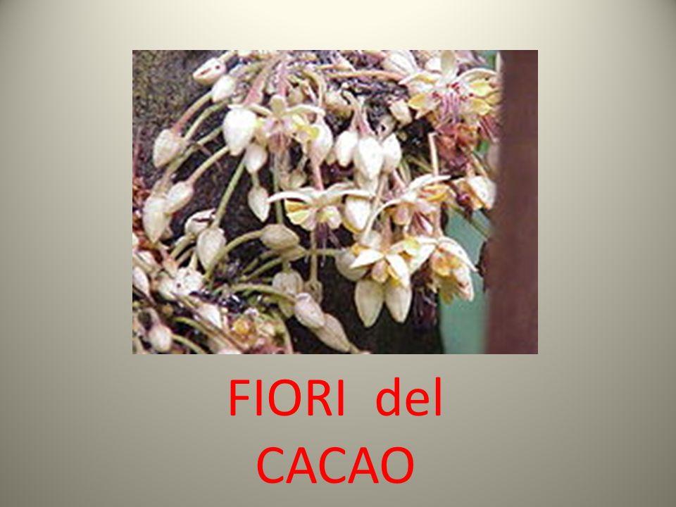 L a pianta del cacao ha origini antichissime e, secondo precise ricerche botaniche, si presume che fosse presente più di 6000 anni fa nel Rio delle AmazzoniRio delle Amazzoni e nell Orinoco.Orinoco Intorno al 1000 a.C.1000 a.C.