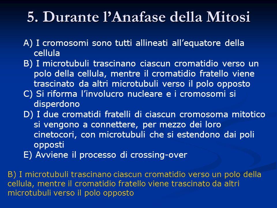 5. Durante lAnafase della Mitosi A) I cromosomi sono tutti allineati allequatore della cellula B) I microtubuli trascinano ciascun cromatidio verso un