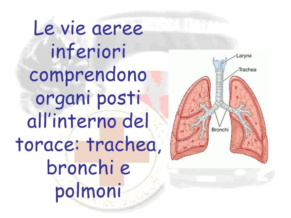 Le vie aeree inferiori comprendono organi posti allinterno del torace: trachea, bronchi e polmoni