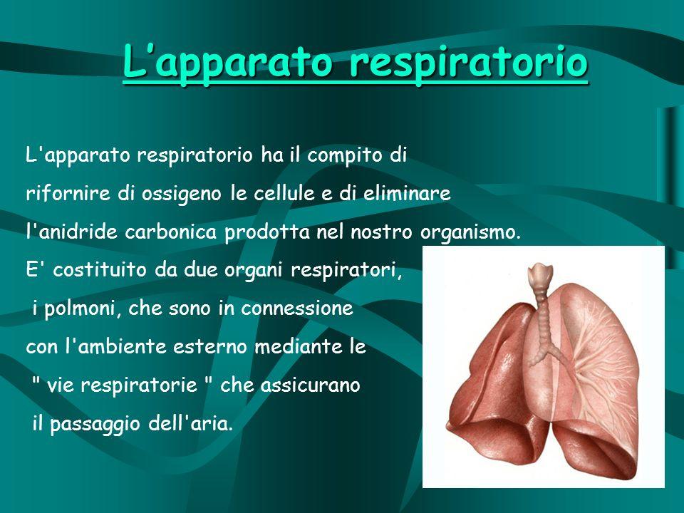 L apparato respiratorio ha il compito di rifornire di ossigeno le cellule e di eliminare l anidride carbonica prodotta nel nostro organismo.