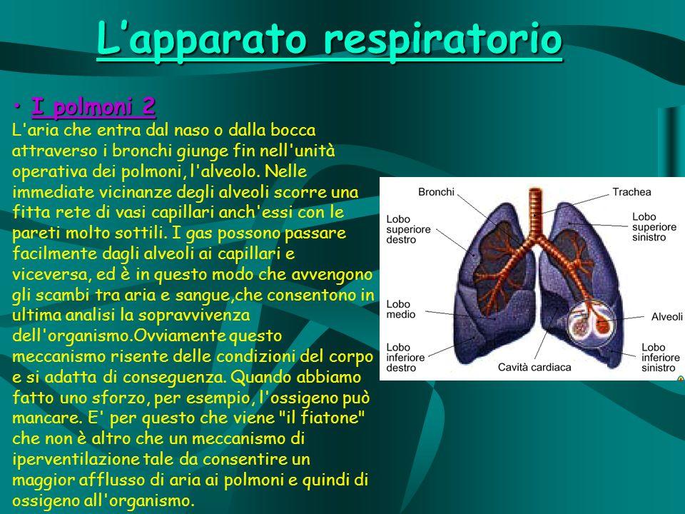 I polmoni 2 I polmoni 2 L aria che entra dal naso o dalla bocca attraverso i bronchi giunge fin nell unità operativa dei polmoni, l alveolo.