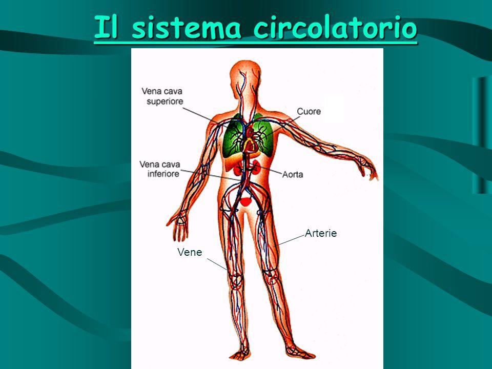 Il sistema circolatorio Arterie Vene