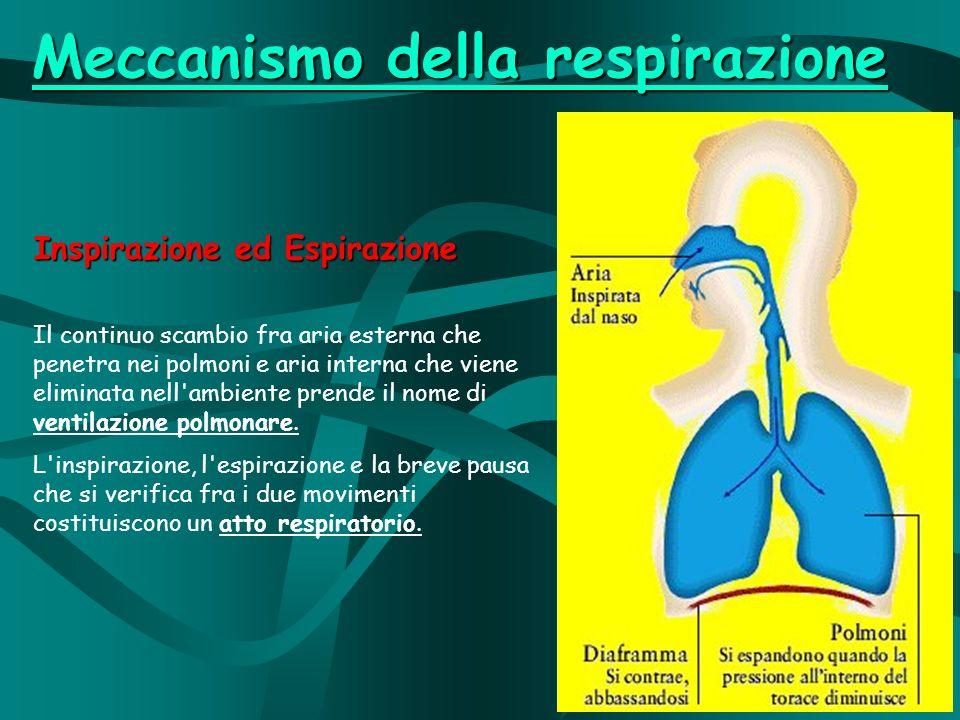 Inspirazione ed Espirazione Il continuo scambio fra aria esterna che penetra nei polmoni e aria interna che viene eliminata nell ambiente prende il nome di ventilazione polmonare.