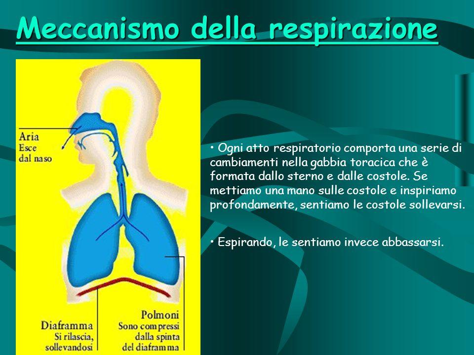 Ogni atto respiratorio comporta una serie di cambiamenti nella gabbia toracica che è formata dallo sterno e dalle costole.