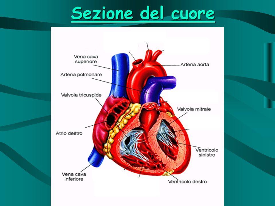 Sezione del cuore