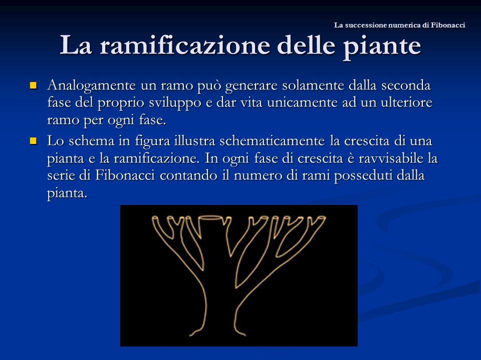 La ramificazione delle piante La successione numerica di Fibonacci Analogamente un ramo può generare solamente dalla seconda fase del proprio sviluppo