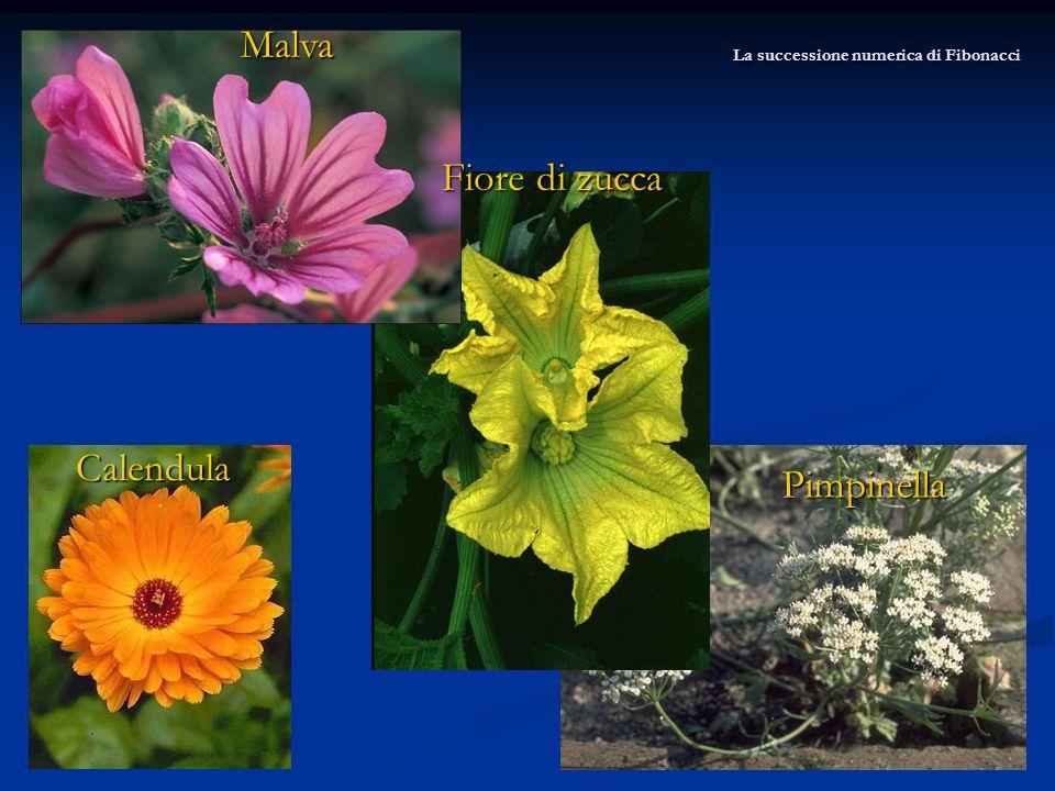 Malva Fiore di zucca Pimpinella Calendula La successione numerica di Fibonacci