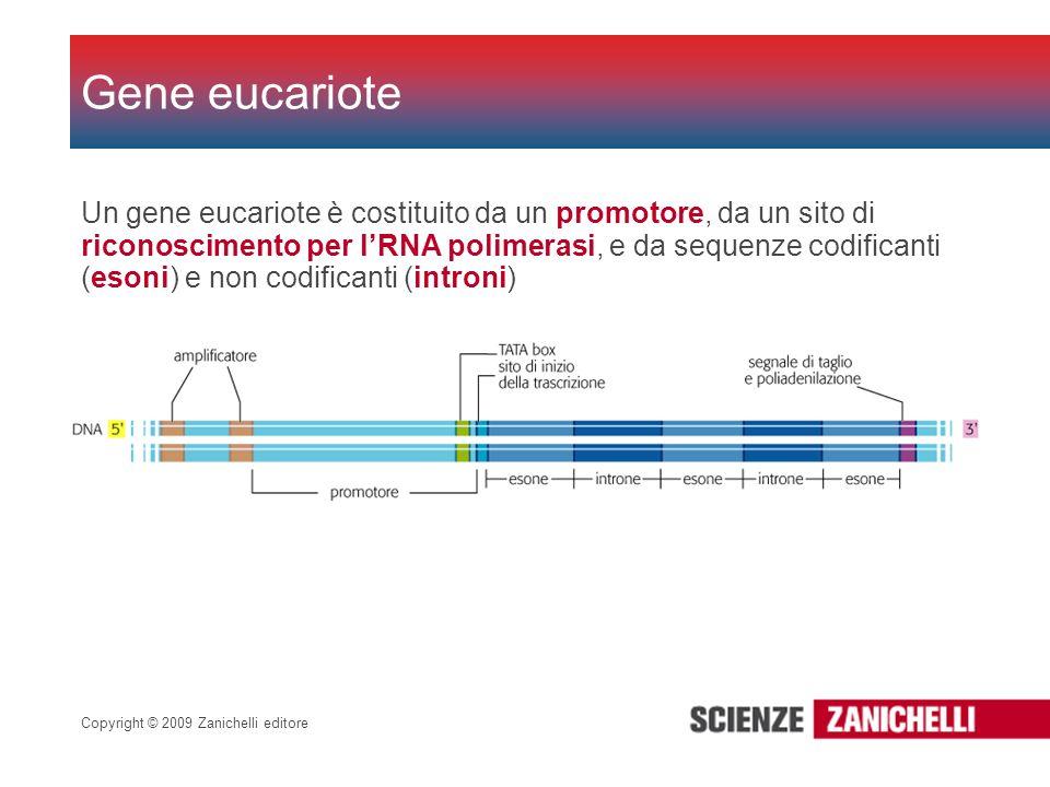 Copyright © 2009 Zanichelli editore Un gene eucariote è costituito da un promotore, da un sito di riconoscimento per lRNA polimerasi, e da sequenze co
