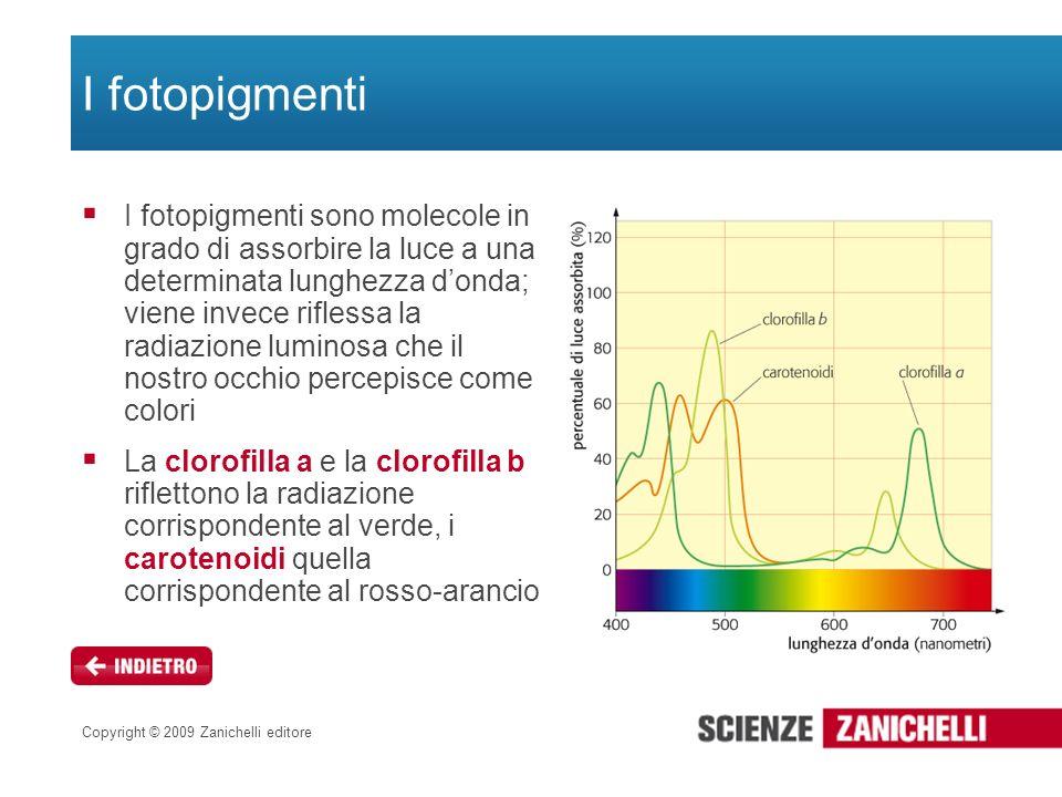 Copyright © 2009 Zanichelli editore I fotopigmenti I fotopigmenti sono molecole in grado di assorbire la luce a una determinata lunghezza donda; viene
