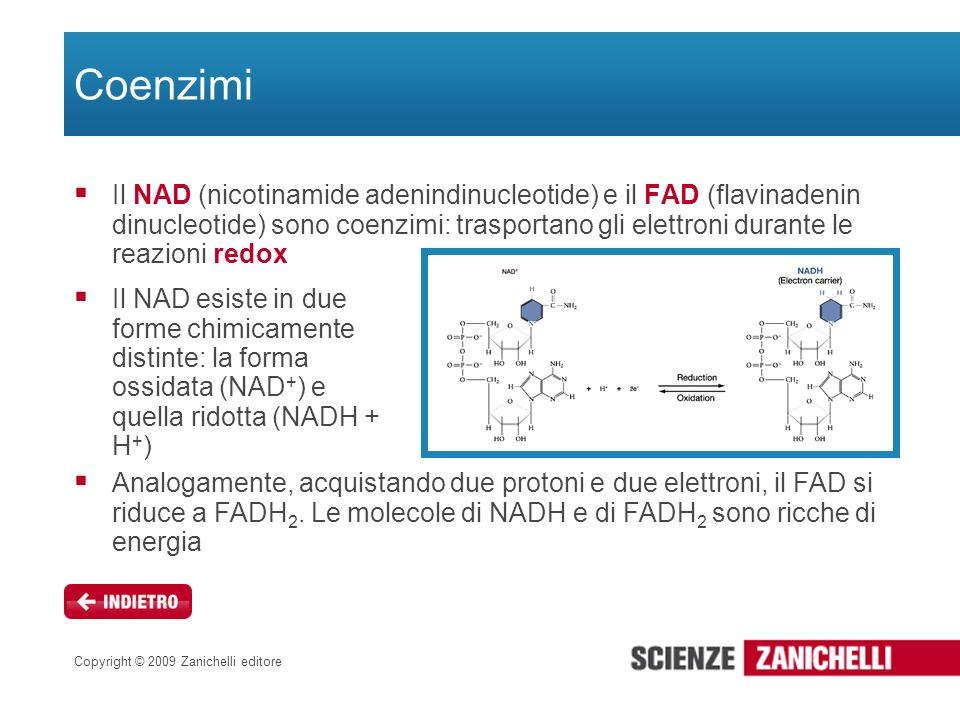 Copyright © 2009 Zanichelli editore Coenzimi Il NAD (nicotinamide adenindinucleotide) e il FAD (flavinadenin dinucleotide) sono coenzimi: trasportano