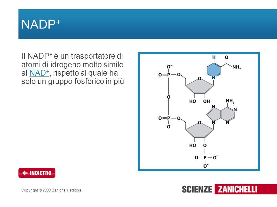 Copyright © 2009 Zanichelli editore NADP + Il NADP + è un trasportatore di atomi di idrogeno molto simile al NAD +, rispetto al quale ha solo un grupp