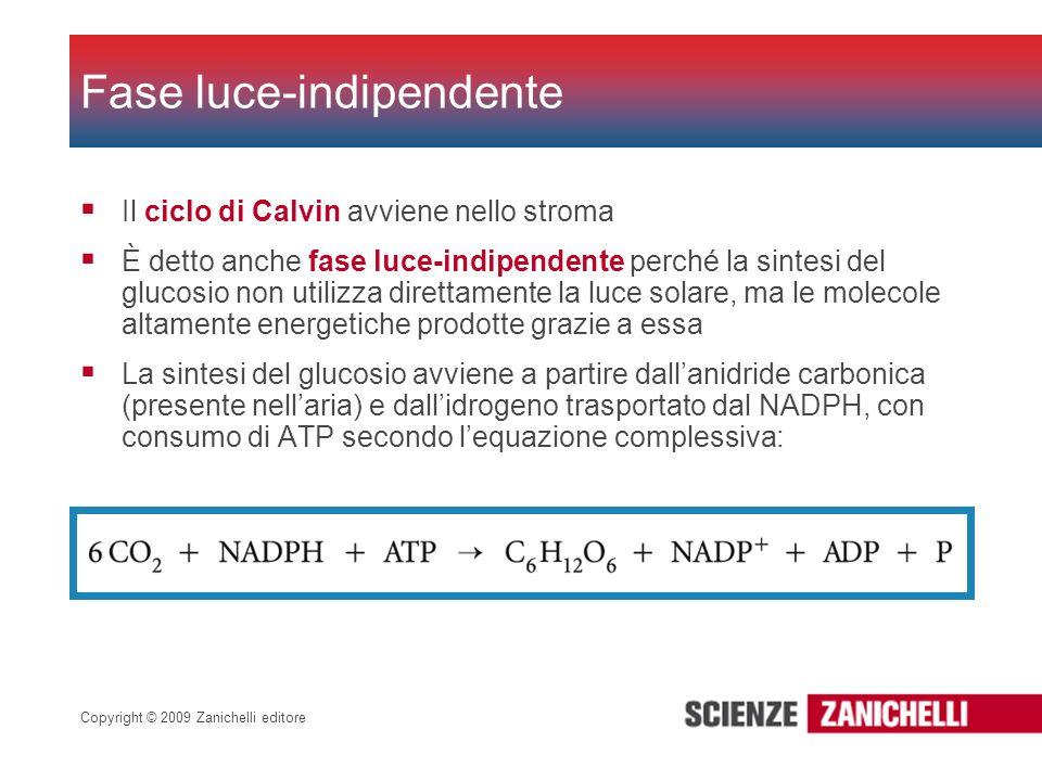 Copyright © 2009 Zanichelli editore Il ciclo di Calvin avviene nello stroma È detto anche fase luce-indipendente perché la sintesi del glucosio non ut