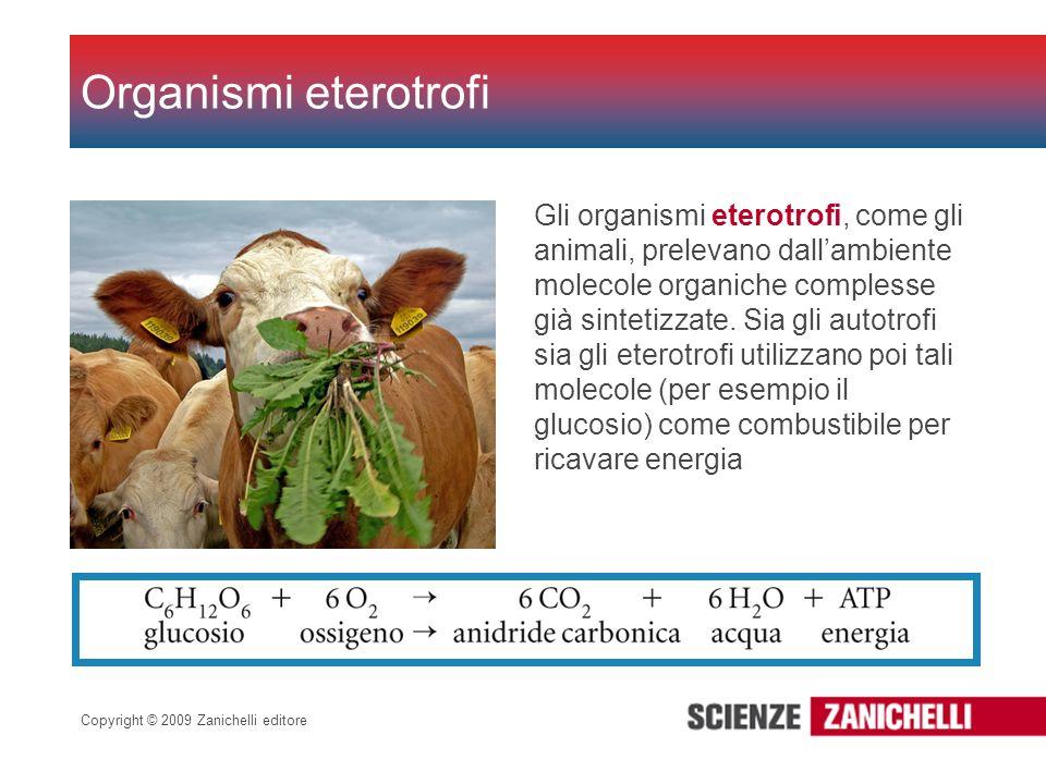 Copyright © 2009 Zanichelli editore Organismi eterotrofi Gli organismi eterotrofi, come gli animali, prelevano dallambiente molecole organiche comples