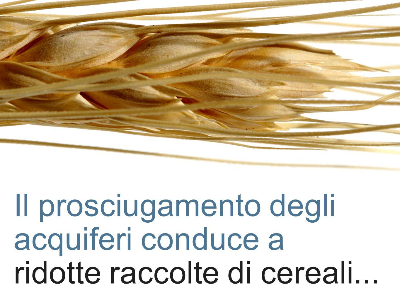 Il prosciugamento degli acquiferi conduce a ridotte raccolte di cereali...