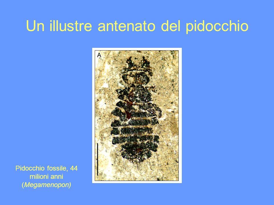 Un illustre antenato del pidocchio Pidocchio fossile, 44 milioni anni (Megamenopon)