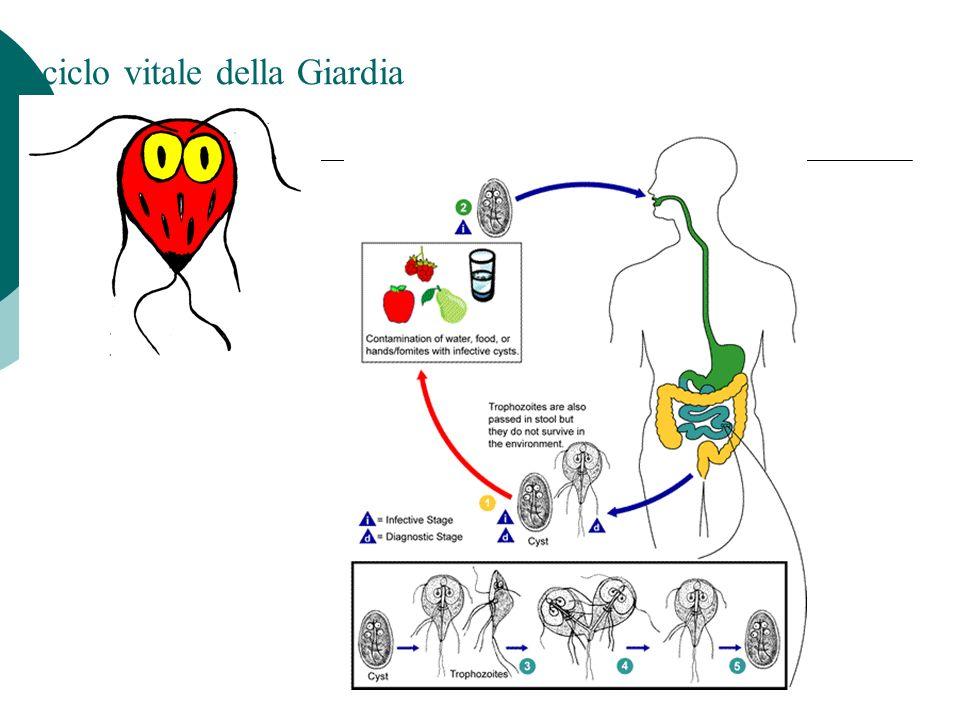 Il ciclo vitale della Giardia