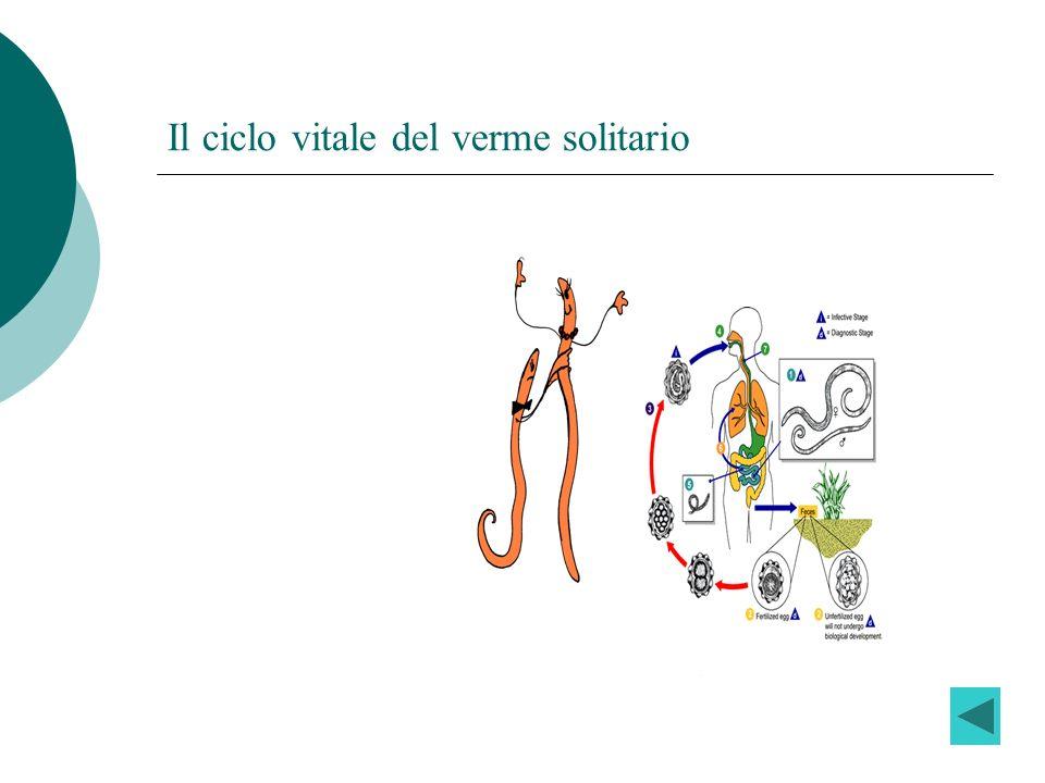 Il ciclo vitale del verme solitario