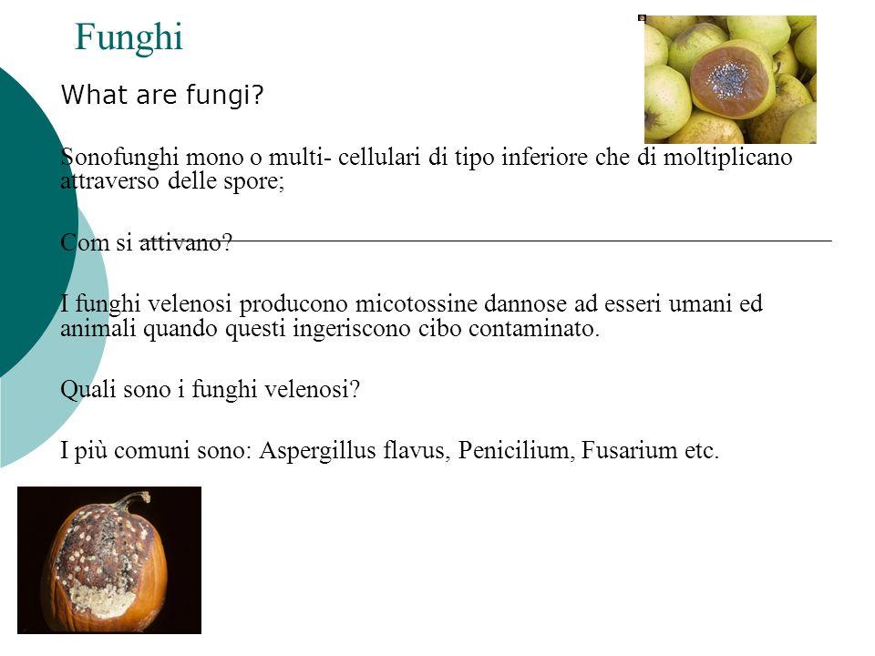Funghi What are fungi? Sonofunghi mono o multi- cellulari di tipo inferiore che di moltiplicano attraverso delle spore; Com si attivano? I funghi vele
