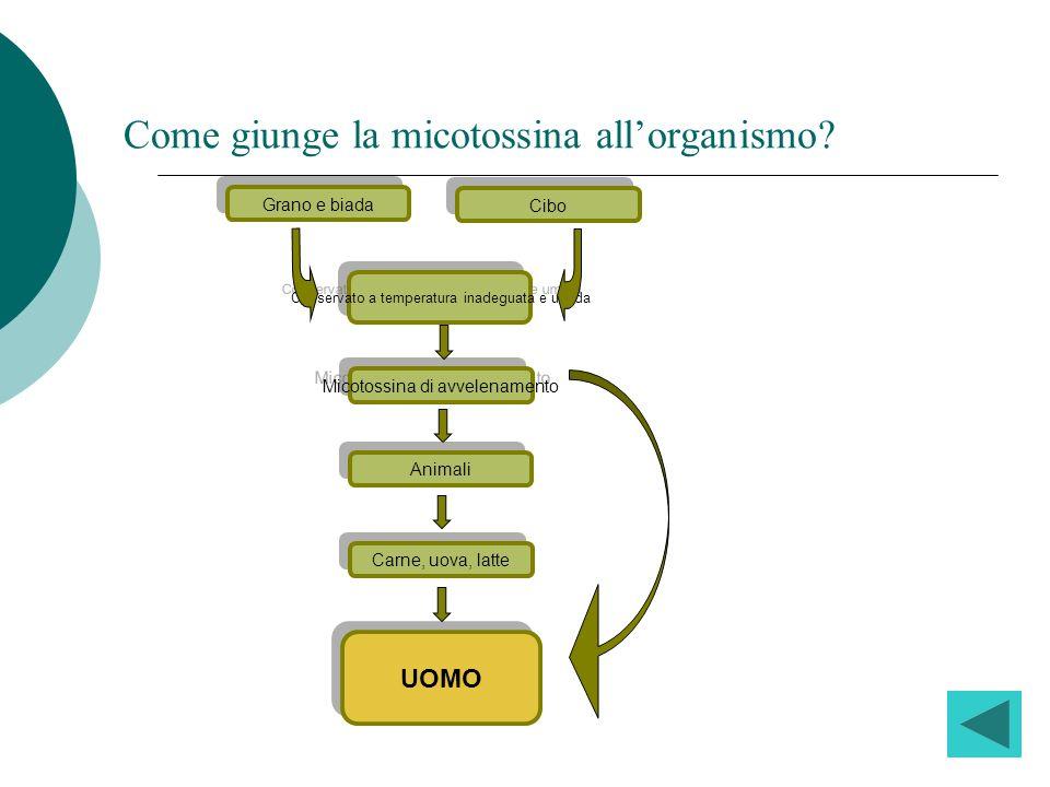 Come giunge la micotossina allorganismo? Grano e biada UOMO Cibo Conservato a temperatura inadeguata e umida Micotossina di avvelenamento Animali Carn