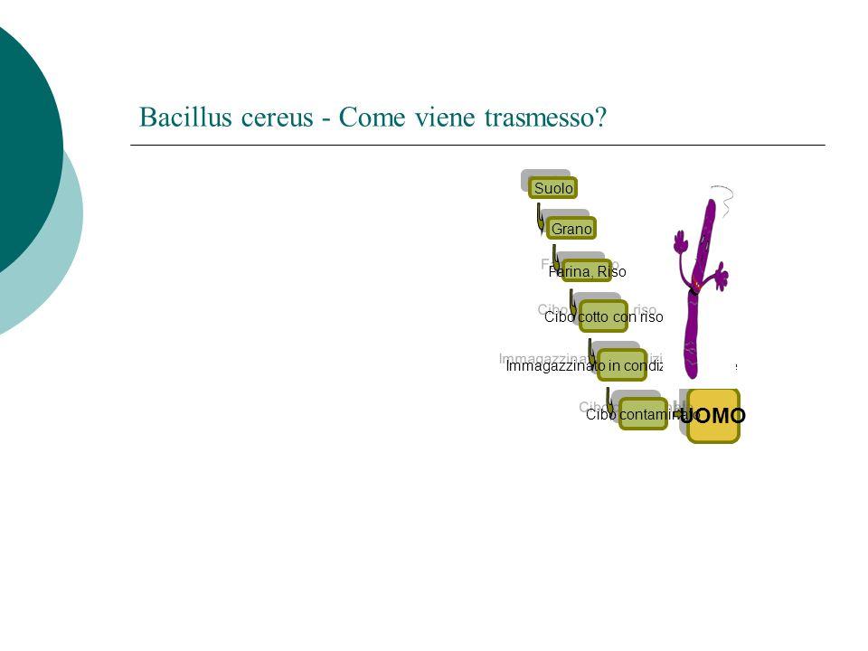 Bacillus cereus - Come viene trasmesso? UOMO Cibo cotto con riso Grano Immagazzinato in condizioni proprie Cibo contaminato Suolo Farina, Riso