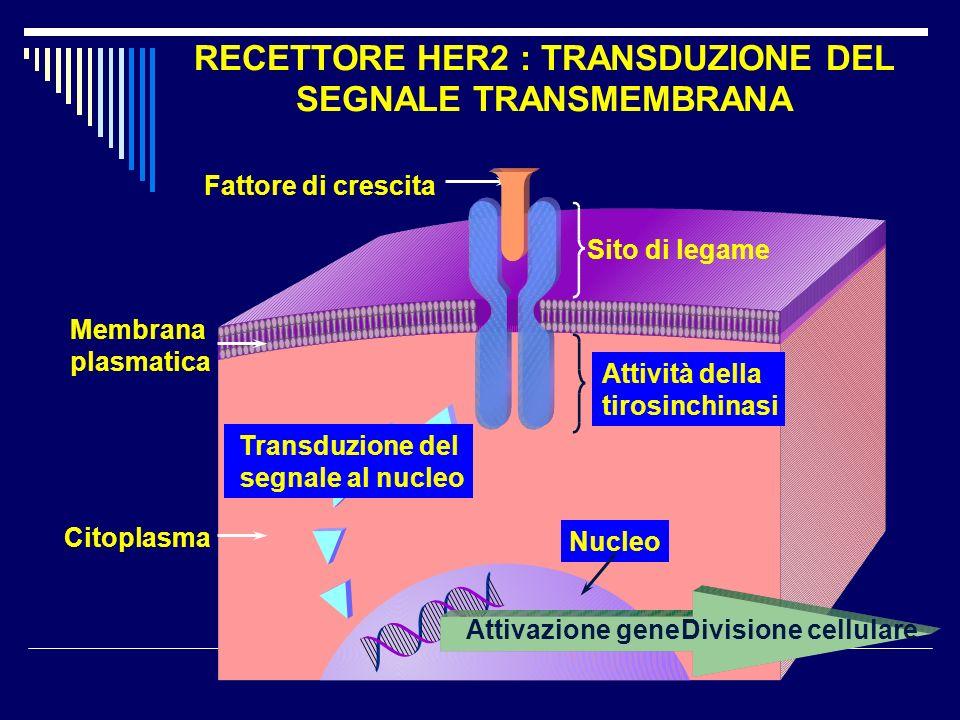 RECETTORE HER2 : TRANSDUZIONE DEL SEGNALE TRANSMEMBRANA Transduzione del segnale al nucleo Nucleo Sito di legame Attività della tirosinchinasi Citopla