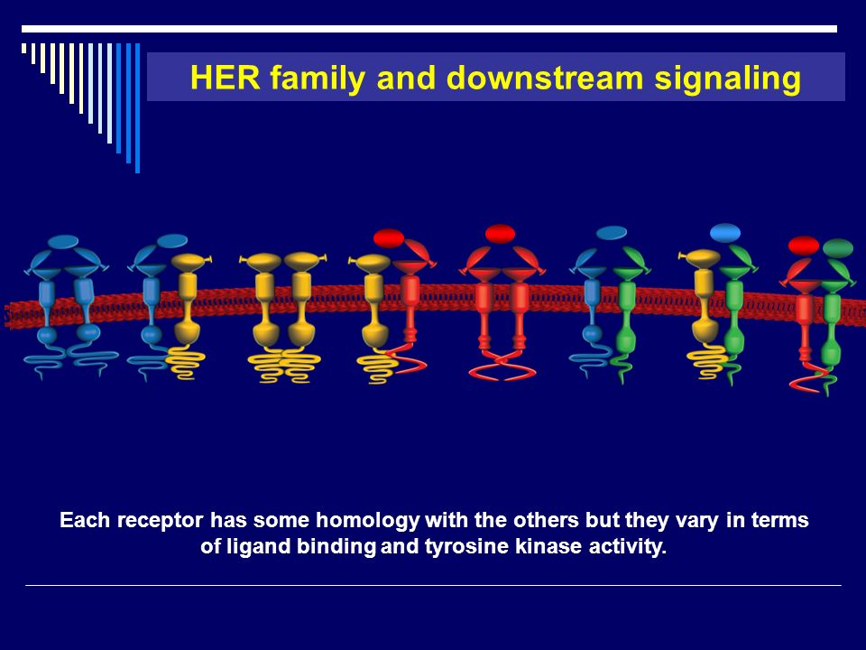HER family and downstream signaling EGFR- ErbB2 EGFR- EGFR ErbB2- ErbB2 ErbB2- ErbB3 ErbB3- ErbB3 ErbB2- ErbB4 ErbB3- ErbB4 EGFR- ErbB4 ++ ++++ ++++++