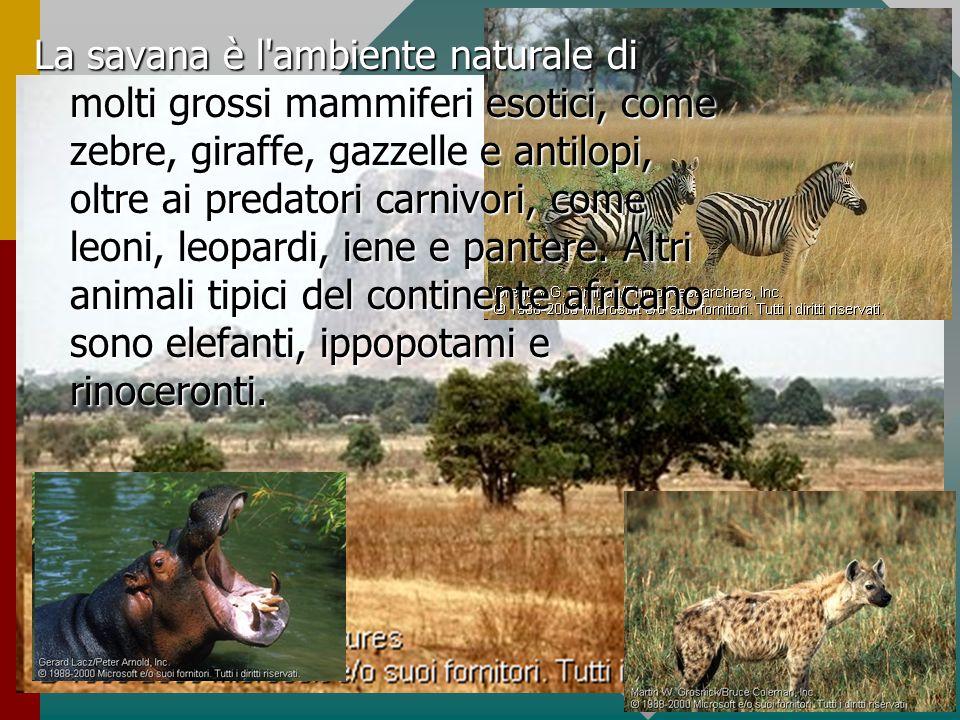 La savana è l'ambiente naturale di molti grossi mammiferi esotici, come zebre, giraffe, gazzelle e antilopi, oltre ai predatori carnivori, come leoni,