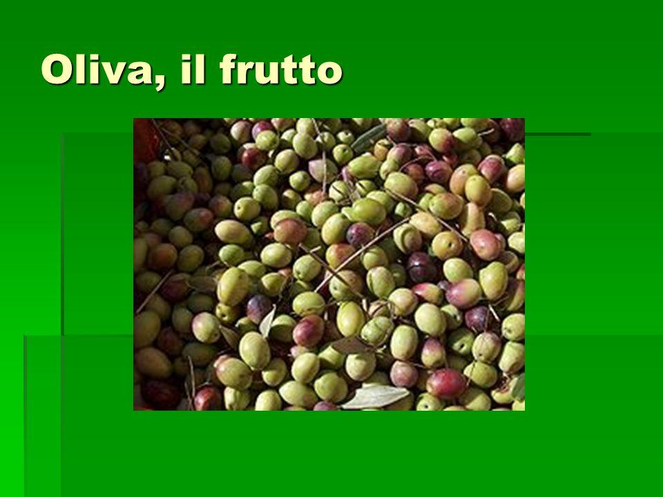 L oliva è il frutto commestibile dell olivo originario del bacino del Mediterraneo L oliva è il frutto commestibile dell olivo originario del bacino del Mediterraneo Il frutto di forma ellissoidale o ovoidale è del peso di 1-6 grammi secondo la varietà, la tecnica colturale adottata e l andamento climatico.