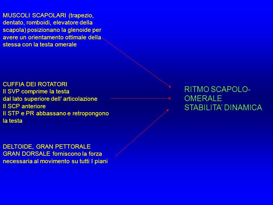 MUSCOLI SCAPOLARI (trapezio, dentato, romboidi, elevatore della scapola) posizionano la glenoide per avere un orientamento ottimale della stessa con l