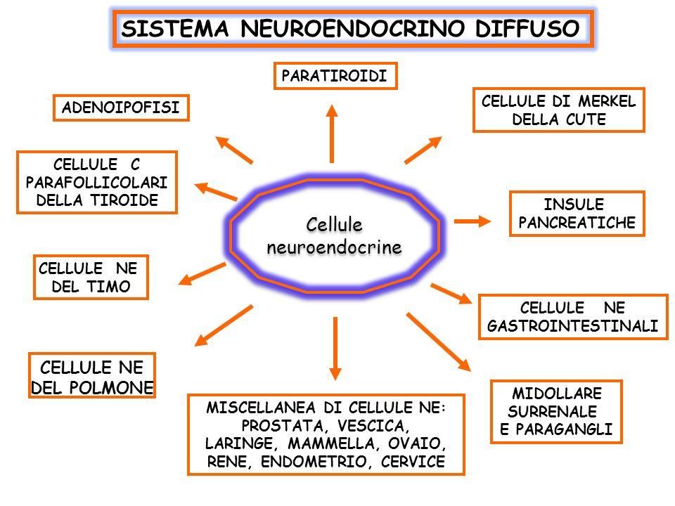 SISTEMA NEUROENDOCRINO DIFFUSO CELLULE NE DEL POLMONE ADENOIPOFISI PARATIROIDI CELLULE DI MERKEL DELLA CUTE INSULE PANCREATICHE CELLULE NE GASTROINTES
