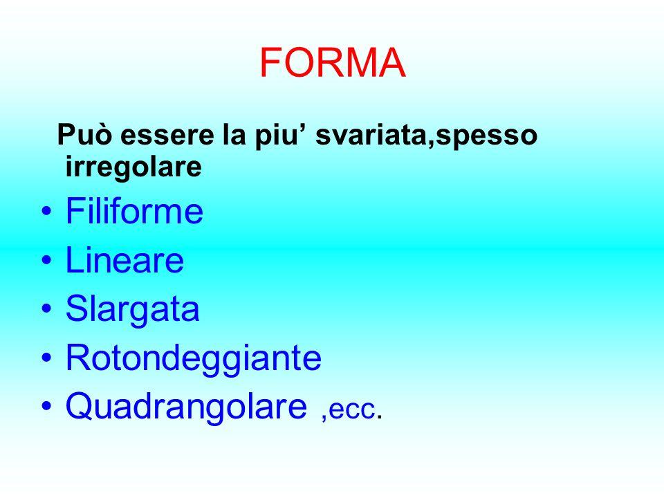 FORMA Può essere la piu svariata,spesso irregolare Filiforme Lineare Slargata Rotondeggiante Quadrangolare,ecc.