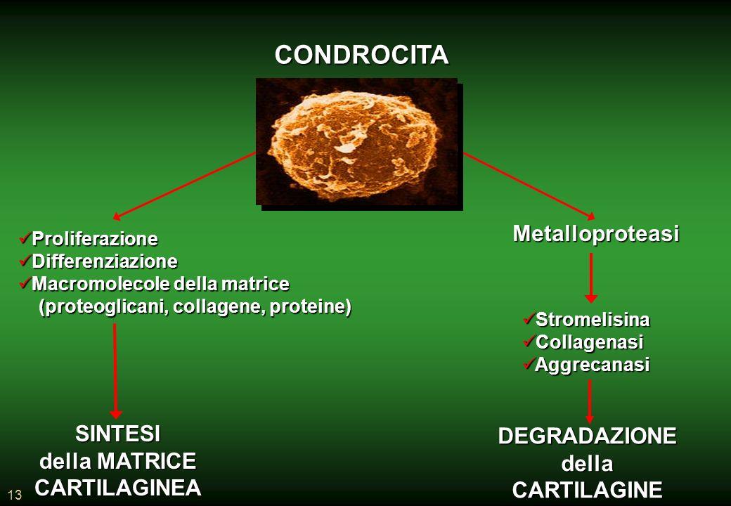 13 CONDROCITA SINTESI della MATRICE CARTILAGINEA DEGRADAZIONEdellaCARTILAGINE Proliferazione Proliferazione Differenziazione Differenziazione Macromolecole della matrice Macromolecole della matrice (proteoglicani, collagene, proteine) (proteoglicani, collagene, proteine) Metalloproteasi Stromelisina Stromelisina Collagenasi Collagenasi Aggrecanasi Aggrecanasi