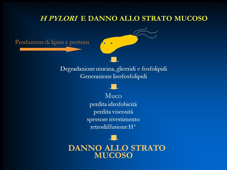 H PYLORI E DANNO ALLO STRATO MUCOSO Degradazione mucina, gliceridi e fosfolipidi Generazione lisofosfolipidi Muco perdita idrofobicità perdita viscosi
