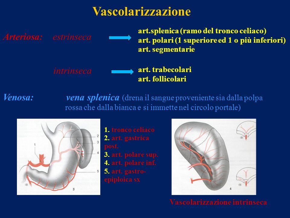 Vascolarizzazione Arteriosa: estrinseca art.splenica (ramo del tronco celiaco) art. polari (1 superiore ed 1 o più inferiori) art. segmentarie intrins