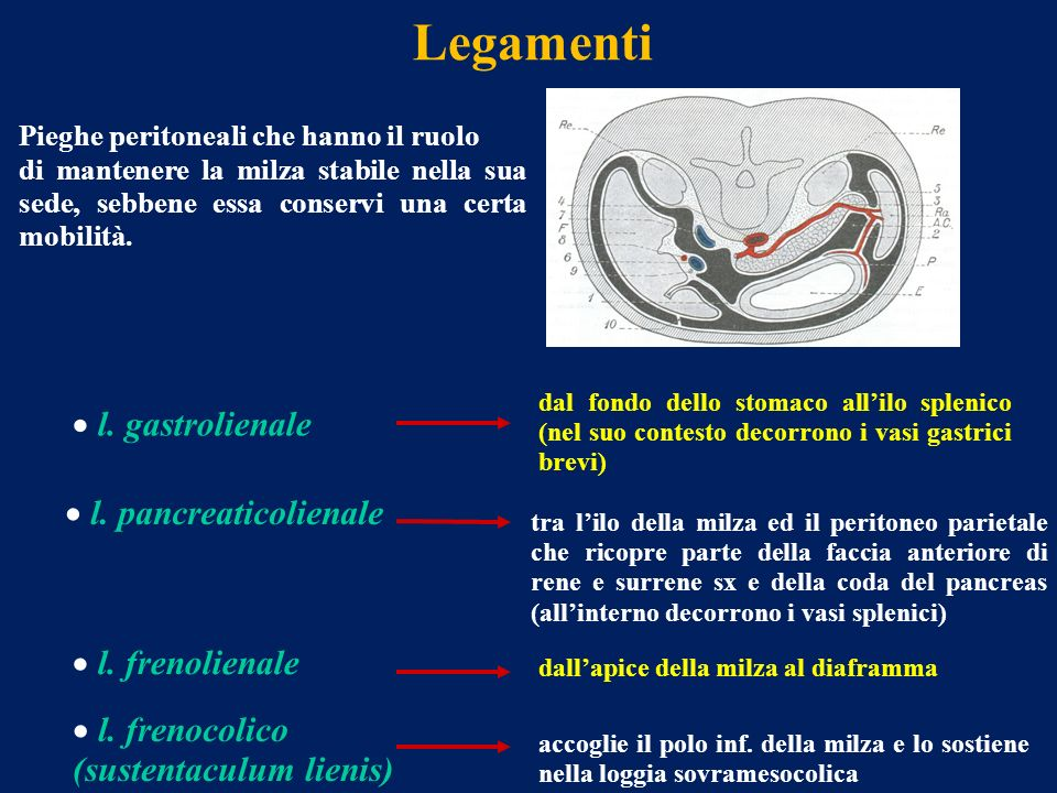 Legamenti l. gastrolienale dal fondo dello stomaco allilo splenico (nel suo contesto decorrono i vasi gastrici brevi) Pieghe peritoneali che hanno il