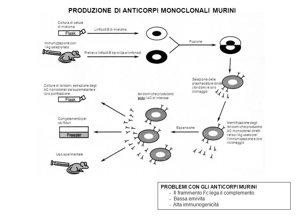 Coltura di cellule di mieloma Immunizzazione con lAg selezionato Prelievo linfociti B da milza e linfonodi Linfociti B di mieloma Fusione Selezione delle plasmacellule ibride (ibridomi) e loro clonaggio Identificazione degli ibridomi che producono AC monoclonali diretti verso lAg usato per limmunizzazione e loro riclonaggio Espansione Ibridomi che producono solo lAC di intersse Colture di ibridomi, estrazione degli AC nonoclonali dal supernatante e loro purificazione Congelamento per usi futuri Uso sperimentale PRODUZIONE DI ANTICORPI MONOCLONALI MURINI PROBLEMI CON GLI ANTICORPI MURINI - Il frammento Fc lega il complemento - Bassa emivita - Alta immunogenicità