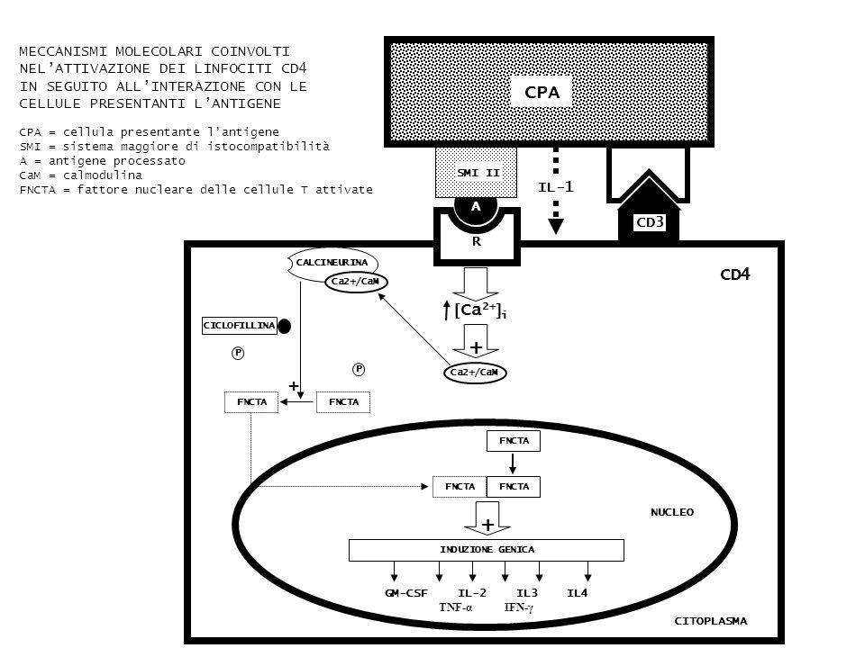 GM-CSF IL-2 IL3 IL4 TNF-α IFN-γ FNCTA INDUZIONE GENICA + NUCLEO + CALCINEURINA Ca2+/CaM FNCTA P P Ca 2+ i + Ca2+/CaM R CPA A SMI II CD3 CICLOFILLINA IL-1 CD4 CITOPLASMA MECCANISMI MOLECOLARI COINVOLTI NELATTIVAZIONE DEI LINFOCITI CD4 IN SEGUITO ALLINTERAZIONE CON LE CELLULE PRESENTANTI LANTIGENE CPA = cellula presentante lantigene SMI = sistema maggiore di istocompatibilità A = antigene processato CaM = calmodulina FNCTA = fattore nucleare delle cellule T attivate