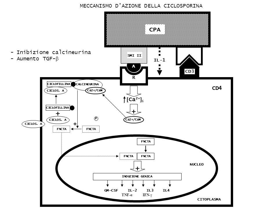 CD4 CITOPLASMA GM-CSF IL-2 IL3 IL4 TNF-α IFN-γ FNCTA INDUZIONE GENICA + NUCLEO + CALCINEURINA Ca2+/CaM FNCTA P P Ca 2+ i + Ca2+/CaM R CPA A SMI II CD3 IL-1 CICLOS.
