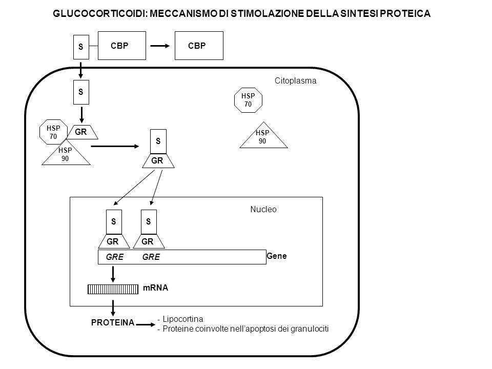 GLUCOCORTICOIDI: MECCANISMO DI STIMOLAZIONE DELLA SINTESI PROTEICA Citoplasma - Lipocortina - Proteine coinvolte nellapoptosi dei granulociti S GR S G