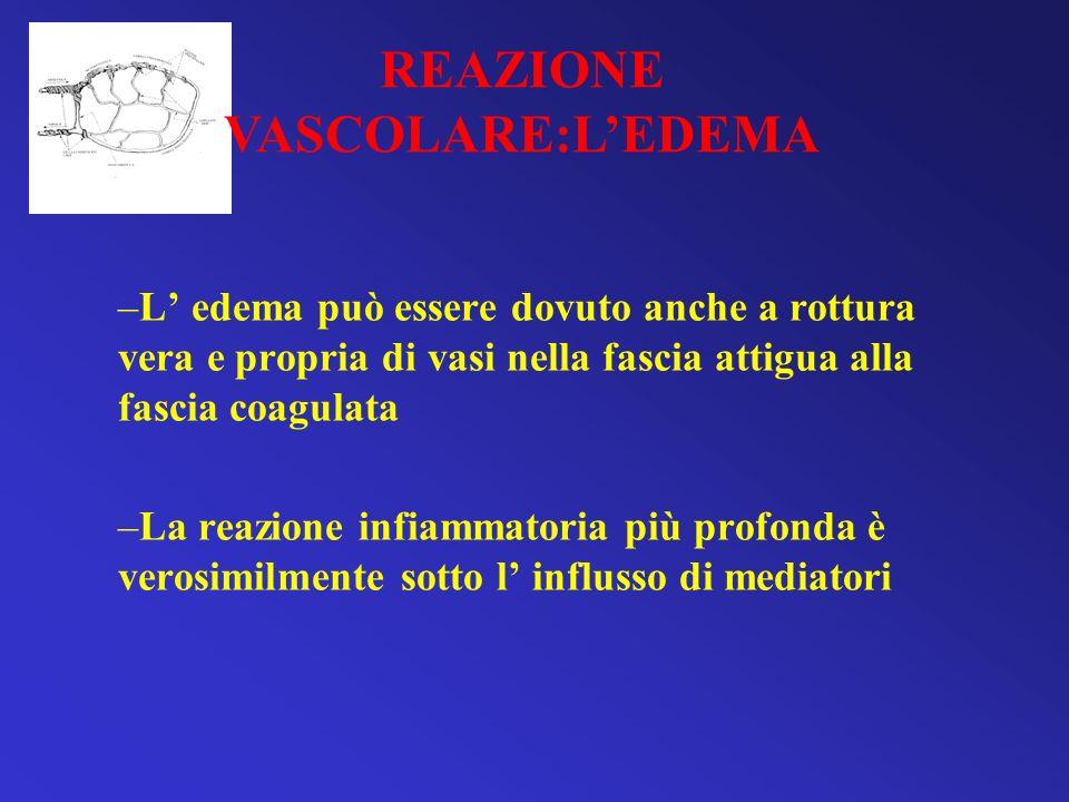 –L edema può essere dovuto anche a rottura vera e propria di vasi nella fascia attigua alla fascia coagulata –La reazione infiammatoria più profonda è